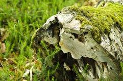 Tocón hueco con el musgo Imagen de archivo