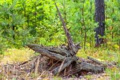 Tocón mágico en el bosque bielorruso del pino fotografía de archivo