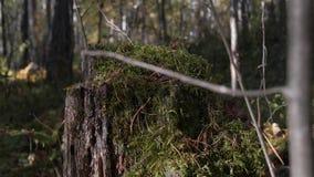 Tocón putrefacto del musgo en el bosque almacen de metraje de vídeo
