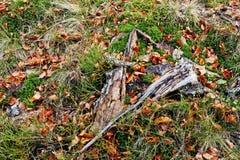 Tocón quebrado en hierba con el musgo y las hojas caidas rojas Foto de archivo