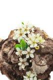 Tocón seco florecido Fotografía de archivo libre de regalías