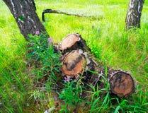 Tocón tres de árboles de abedul derribados en bosque Fotografía de archivo