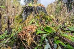 Tocón viejo con las setas de miel en el bosque del otoño Fotografía de archivo