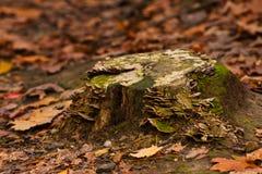 Tocón viejo con los hongos Foto de archivo libre de regalías