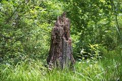 Tocón viejo en el bosque Imagen de archivo libre de regalías