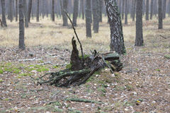 Tocón viejo en el bosque Imagen de archivo
