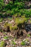 Toc?n putrefacto viejo en el bosque imagen de archivo libre de regalías