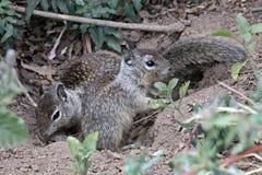 Toca do esquilo à terra Fotos de Stock Royalty Free