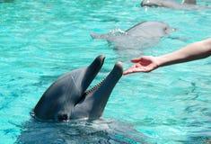Tocando em um golfinho Fotografia de Stock Royalty Free