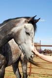Tocando no cavalo cinzento Dappled Foto de Stock Royalty Free