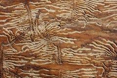 Tocas da larva de carcoma na cinza Fotos de Stock