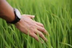 Tocco della mano morbidamente la risaia Immagini Stock