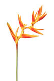 A tocha dourada do psittacorum de Heliconia floresce, as flores tropicais isoladas no fundo branco Imagem de Stock