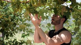 Toching φύλλα και σταφύλια αμπέλων νεαρών άνδρων ή αγροτών απόθεμα βίντεο