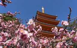 Tochoji Temple, Ume flowers blooming in Fukuoka, Japan.  Stock Images