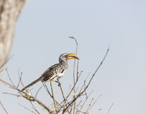 南部的黄色开帐单的犀鸟(Tockus leucomelas) 免版税库存照片