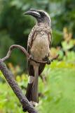 tockus leucomelas hornbill африканского серого цвета стоковые изображения rf