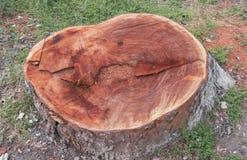 Tocón de un árbol viejo y grande Fotografía de archivo libre de regalías