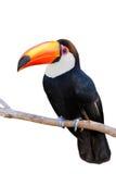 Toco在白色查出的Toucan 免版税库存照片