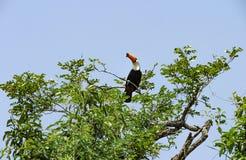 Toco de Ramphastos de toucan de Toco photos libres de droits
