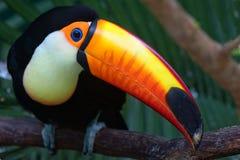 Toco Toco toucan Ramphastos Стоковые Фотографии RF