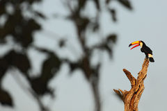 Toco Toucan,与开放橙色票据,动物在自然栖所,潘塔纳尔湿地,巴西的大鸟 免版税库存图片