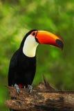 Toco Toucan, большая птица с оранжевым счетом, в среду обитания природы, Pantanal, Бразилия Стоковые Фото