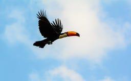 Toco Toucan в полете Стоковая Фотография