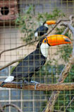 Toco Toucan Royalty Free Stock Images