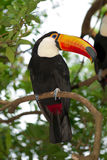 Toco toucan Fotografie Stock