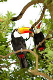 Toco toucan Stock Photography