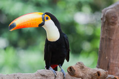 Toco Toucan Stock Image
