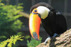 Toco toucan Stock Photos