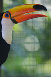 Toco Toucan. A close up portrait of a Toco Toucan Royalty Free Stock Image