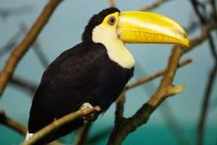 Toco toucan Lizenzfreie Stockbilder