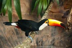 Toco toucan Immagine Stock Libera da Diritti