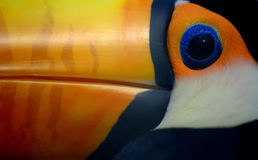 Toco toucan Stock Photo