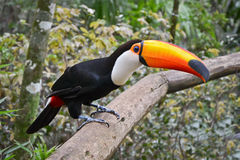 Toco toucan Photo stock