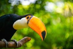 Toco toucan Стоковое Изображение RF