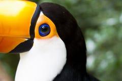 Toco Toucan. Closeup of colorful toucan from Brazil stock photos