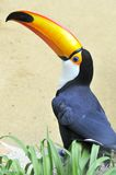 Toco toucan Royalty Free Stock Photos