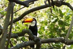Toco toucan Fotografía de archivo