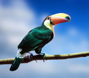 Toco Toucan against sky Royalty Free Stock Photo