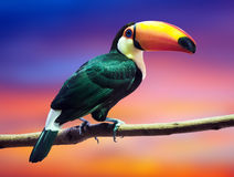 Toco Toucan against sunset sky Stock Images