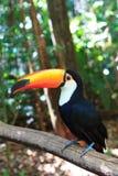 Toco Toucan (allmänning) Arkivfoto