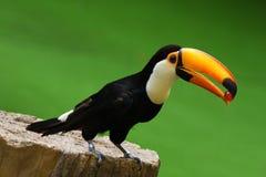 Toco Toucan Bird. Toucan bird feeding some food in a park Royalty Free Stock Image