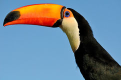 Toco Toucan Into The Blue Stock Image