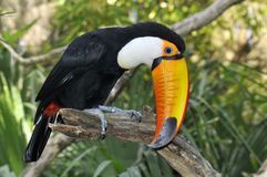 Toco toucan on branch Stock Photography