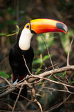Toco toucan on branch staring at camera Stock Images