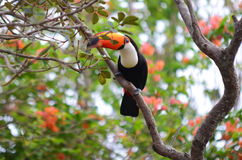 Toco Toucan. In the Brazilian Pantanal royalty free stock image